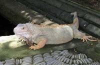 iguana di bali reptile park