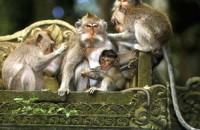monyet hutan ubud bali