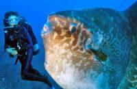 ikan mola mola